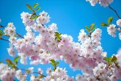 Roze Cherry Blossoms Royalty-vrije Stock Foto