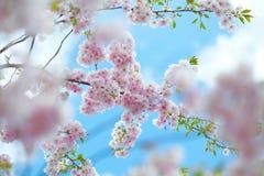 Roze Cherry Blossoms Stock Foto's