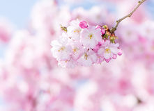 Roze Cherry Blossoms Stock Foto's