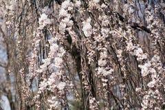 Roze Cherry Blossoms Stock Afbeeldingen