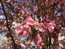 Roze Cherry Blossoms Royalty-vrije Stock Afbeeldingen