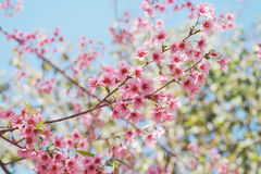 Roze Cherry Blossoms stock foto