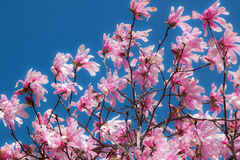 Roze Cherry Blossoms Stock Foto