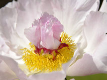 Roze Chinese pioenbloem Stock Foto