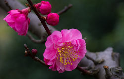 Roze Chinese Plum Blossoms Stock Foto