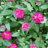 Roze Chrysant stock foto