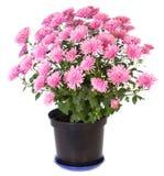 Roze chrysant Royalty-vrije Stock Afbeeldingen