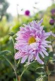 Roze Chrysant Royalty-vrije Stock Fotografie