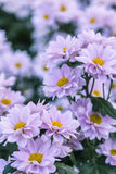 Roze Chrysant Royalty-vrije Stock Foto's