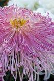 Roze chrysant Royalty-vrije Stock Foto