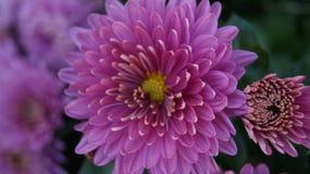 Roze Chrysant Royalty-vrije Stock Afbeelding