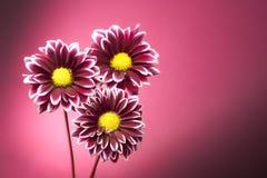 Roze Chrysant op de Achtergrond van Lit van de Vlek stock foto