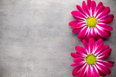 Roze chrysant op gele achtergronden Stock Afbeelding