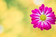 Roze chrysant op gele achtergronden Stock Afbeeldingen