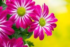 Roze chrysant op gele achtergronden Stock Foto's