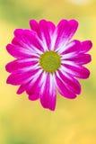 Roze chrysant op gele achtergronden Stock Foto