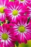 Roze chrysant op gele achtergronden Royalty-vrije Stock Foto