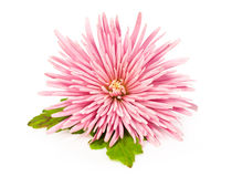 Roze chrysant over wit Royalty-vrije Stock Foto