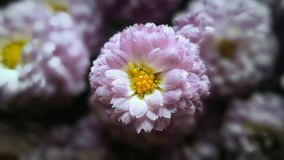 Roze chrysantenbloem Stock Foto's