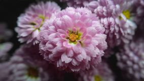 Roze chrysantenbloem Stock Foto