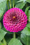Roze chrysantenbloem Royalty-vrije Stock Foto