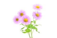 Roze chrysantenbloem op een witte achtergrond Royalty-vrije Stock Foto