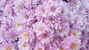 Roze chrysantenbloemen Stock Foto
