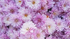 Roze chrysantenbloemen Royalty-vrije Stock Foto's