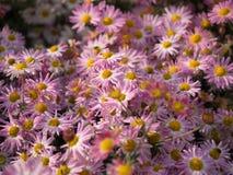 Roze Chrysantenbloemen die in Central Park bloeien royalty-vrije stock fotografie