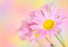 Roze chrysantenbloemen op kleurrijke achtergrond Stock Afbeeldingen