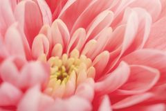 Roze chrysantenmacro stock afbeelding