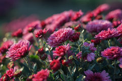 Roze chrysantenstruik Stock Foto's