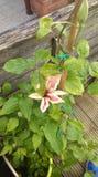 Roze clematissen in bloei Royalty-vrije Stock Foto's