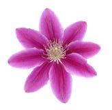 Roze clematissen op wit royalty-vrije stock foto