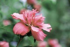 Roze Clematissenbloem op Wijnstok stock foto