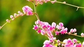 Roze Coral Vine-bloemen op de liefdevalentijnskaart van de boomzomer stock foto