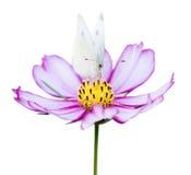 Roze cosmea en vlinder Royalty-vrije Stock Afbeelding