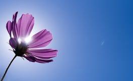 Roze cosmo onder zonneschijn en blauwe hemel stock fotografie