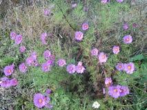 Roze cosmoses in onze tuin stock fotografie