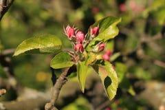 Roze crabapple Royalty-vrije Stock Foto's