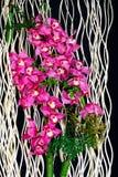 Roze cymbidium of bootorchideeënachtergrond stock foto's