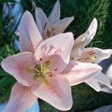 Roze dag-Lelie Royalty-vrije Stock Afbeelding