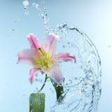 Roze daglelie in koel bespattend water Stock Afbeeldingen