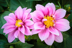 Roze Dahlia Stock Afbeelding