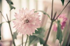 Roze dahlia Stock Foto's