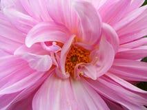 Roze dahlia Royalty-vrije Stock Afbeeldingen