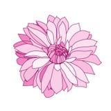 Roze dahlia Stock Afbeeldingen