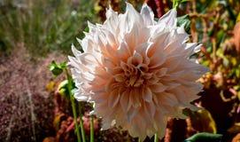 Roze dahlia in de tuin royalty-vrije stock foto