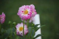 Roze dahlia in de weide royalty-vrije stock afbeeldingen