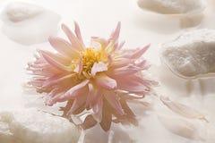 Roze Dahlia die op Water met Rotsen drijft. Stock Fotografie